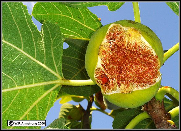 Really amazing information about the fig wasp and how it is necessary to pollinate the fig. Wow! So cool.