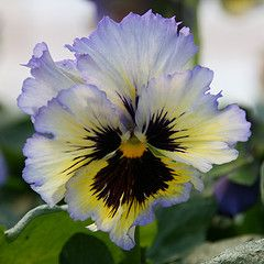Ruffled Pansy: Frizzle Sizzle, yellow/blue