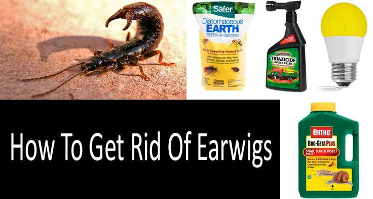 The 25 Best Earwig Control Ideas On Pinterest Insect Repellent Plants Getting Rid Of Earwigs