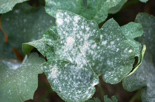 How to get rid of powdery mildew