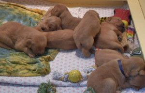 The SWEETEST thing you will ever watch. LIVE Golden Retriever puppies web cam stream!