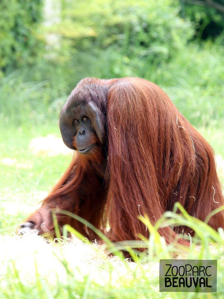 Muda, mâle #orang-outan - ZooParc de Beauval