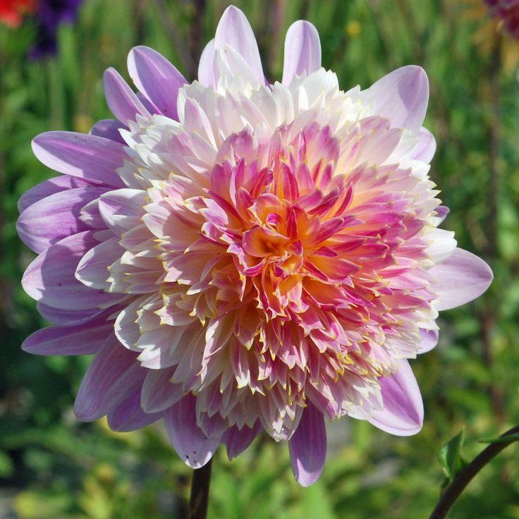 Dahlia 'Lambada' - Rose Cottage Plants