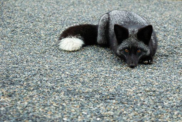 突然変異『メラニズム』による真っ黒い生き物たちがカッコよすぎる! | Amp.