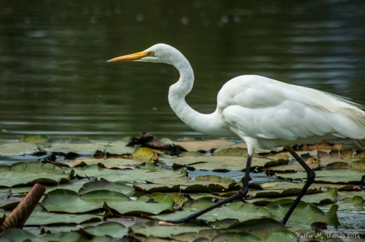 Egret walking on lily pads
