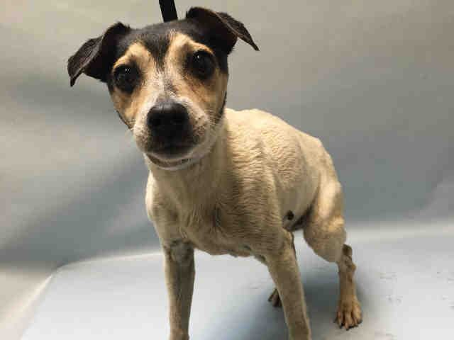 "TANGERINE - A1081281 - Brooklyn - Publicly Adoptable Please Share: TO BE DESTROYED 07/20/16 **AMAZING AVERAGE RATING! ON PUBLIC LIST** Cataracts, swollen vulva discharging bloody muoid of unknown origin, and a stray brought into Brooklyn ACC as a ""stray"". Estimated to be 11 years old, this senior girl did really well in her behavioral evaluation and was good with the dogs she met in doggie group. But she needs to get to a vet for a good checkup and determination of what that discharge…"