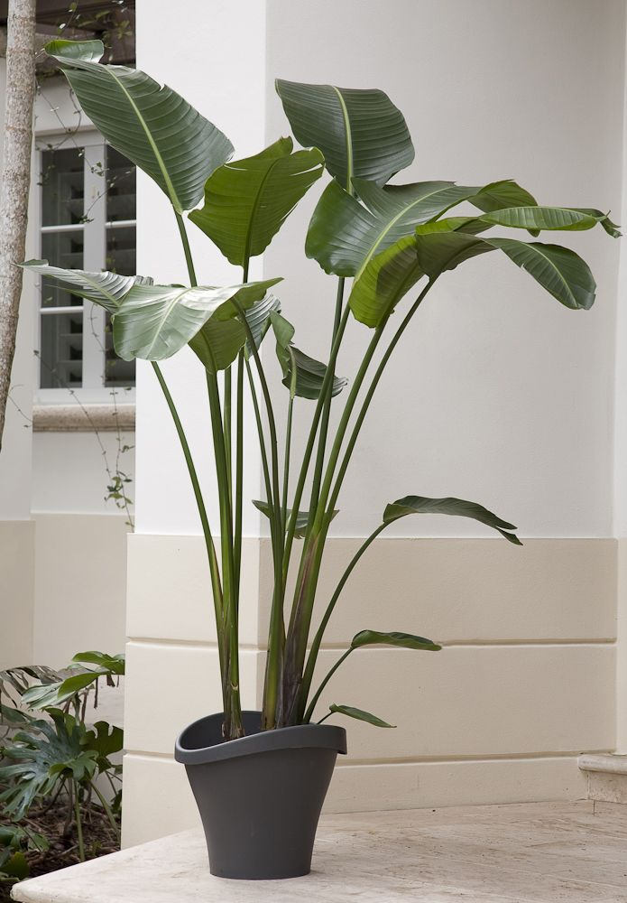 While not a palm this showy plant has large bright green leaves that look lush and lovely in an - Tall house plants ...