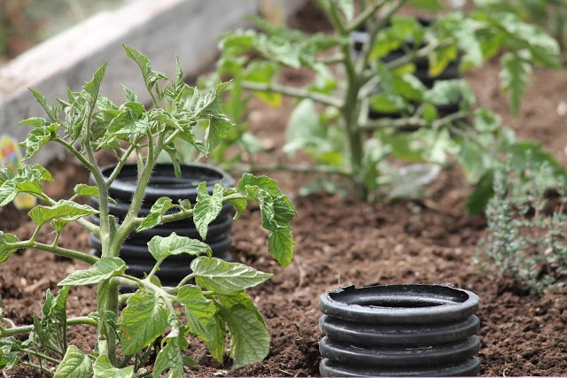 Camp Wander: How to Deep Water Tomato Plants perfed tubing and it was cheap ($5.50 for 10ft @ Home Depot).
