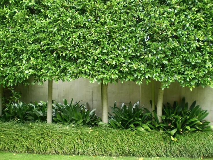 Pleached Ficus hillii. Shafer Design Ltd. In coastal temperate regions of Australia this look can be achieved using Waterhousea floribunda GREEN AVENUE Pbr or Acmena smithii SUBLIME Pbr - also good options where container size is limited.