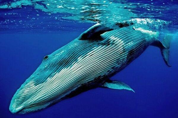 Cómo son las ballenas. Su origen, los diferentes tipos, qué comen, dónde viven, cómo se comunican #curiosidades @curiosfera