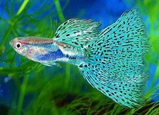 Guppy  http://img.alibaba.com/photo/11949939/Guppy_Fish.jpg