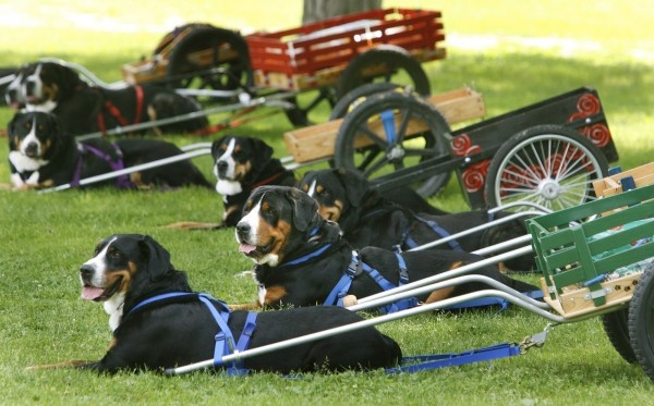 Greater Swiss Mountain dogs: similar to the Bernese Mtn Dog but with a smooth coat. These dogs were meant to draft (pull) carts, and I would totally have my dog learn how to do this if I owned one! Big strong dogs but also known to be good with kids.
