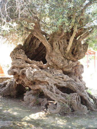 Oldest Olive Tree, aged between 3,500-5000 years, at Vouve, Crete ....