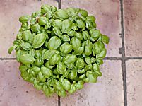 Come coltivare il basilico in vaso sul balcone. E ricordate che le sue foglie curano il raffreddore