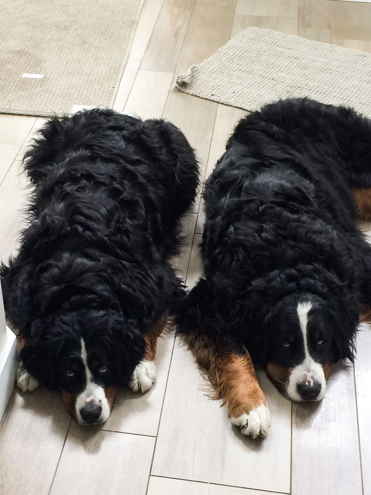 The Look You Get When You Promise Someone That Your Going For A Walk But You Go Promise W Bernese Mountain Dog Bernese Mountain Dog Puppy Mountain Dogs