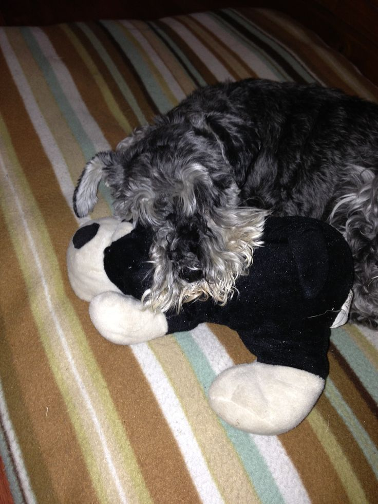 My #bff and his #bff #schnauzer