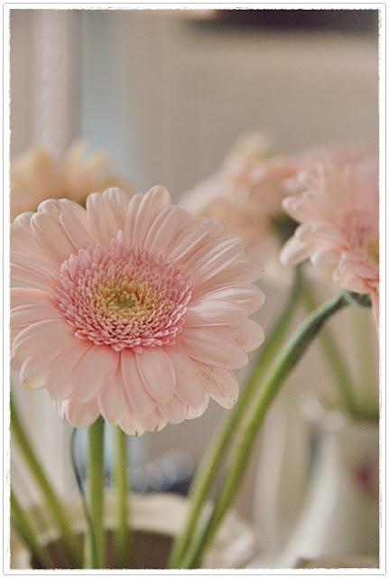 Baby Pink Petals Blush Of Pink Pinterest Gerber