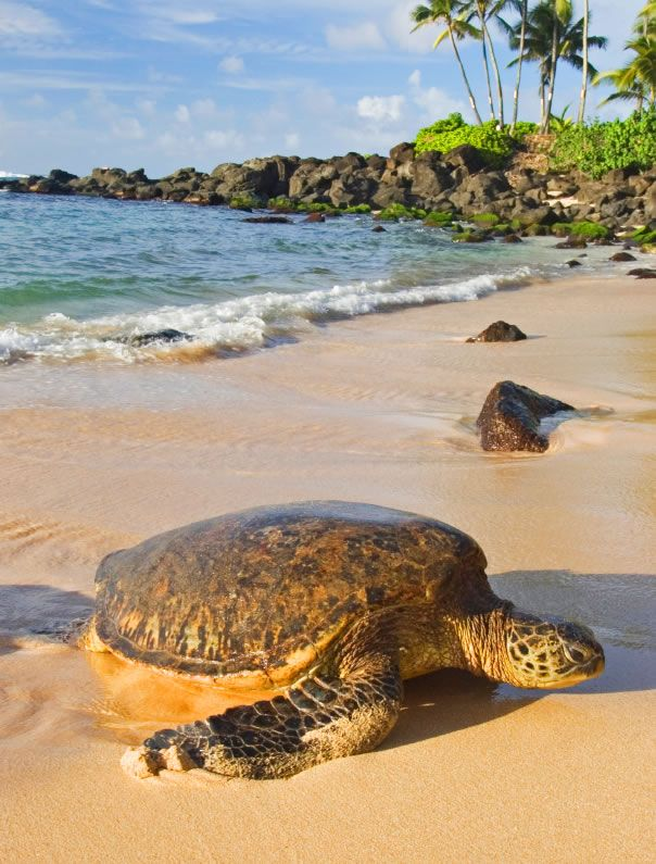 "Hawaiian Green Sea Turtles (""honu"") often relax along North Shore beaches. Be mindful of their space, as they're protected by law."