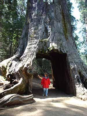Yosemite - The Tuolumne Grove of Sequoia Gigantea - The Big Trees, California