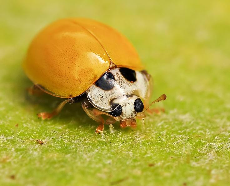 2103 Best Ladybugs Images On Pinterest Ladybugs Lady Bugs