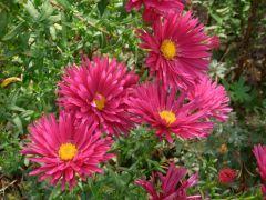 """Aster novi - belgii """" Crimson Brocade """" - astra, hvězdnice Zahradnictví Krulichovi - zahradnictví, květinářství, trvalky, skalničky, bylinky a koření"""