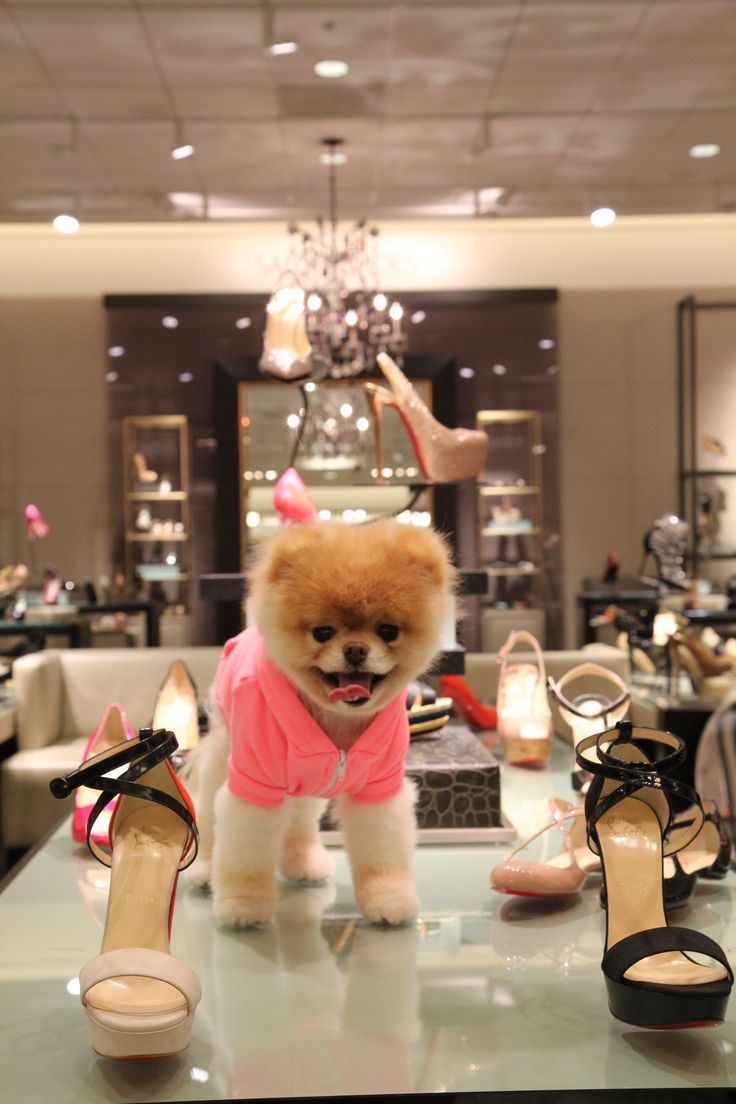 "Three of my favorite things: Boo, Nordstroms and shoes!  ""Boo, the World's Cutest Dog"" goes to Nordstrom for a photo op."