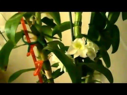 ДЕНДРОБИУМ. Что делать после цветения? - YouTube