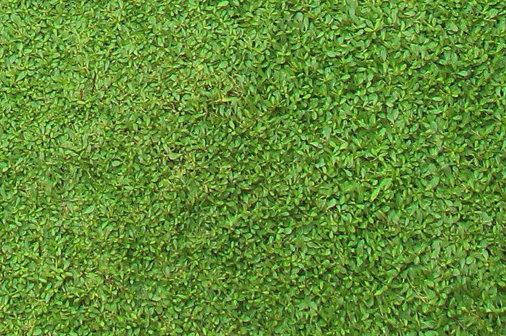 雑草が生える隙間もないクラピア