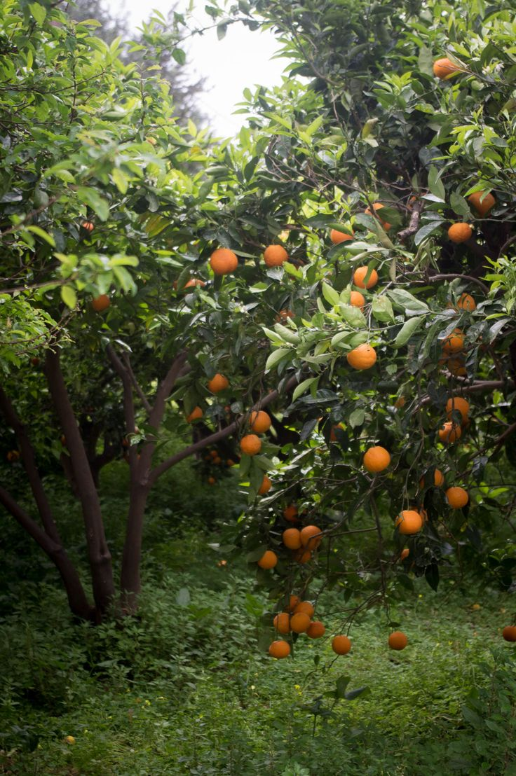 Orange orchard in Fodele, Crete, Greece