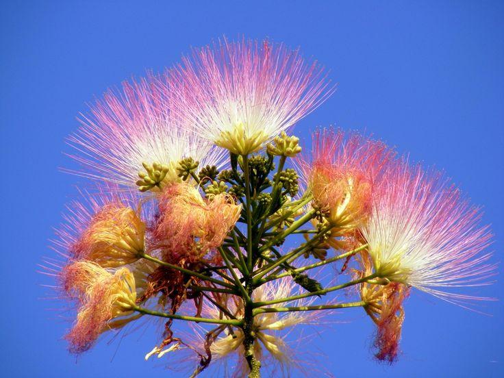 Albizia Julibrissin ; Mimosa Silk Tree Blooming