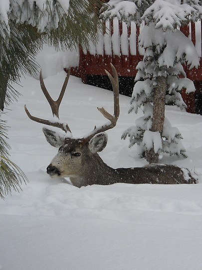 Deep Snow, Denver, Colorado. I would gladly help you but I can not. Such a beautiful animal!