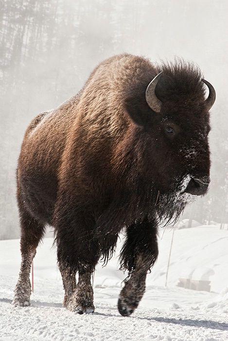 buffalo during winter