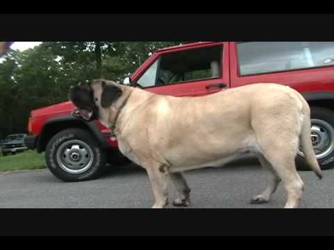 The Biggest Dog Ever