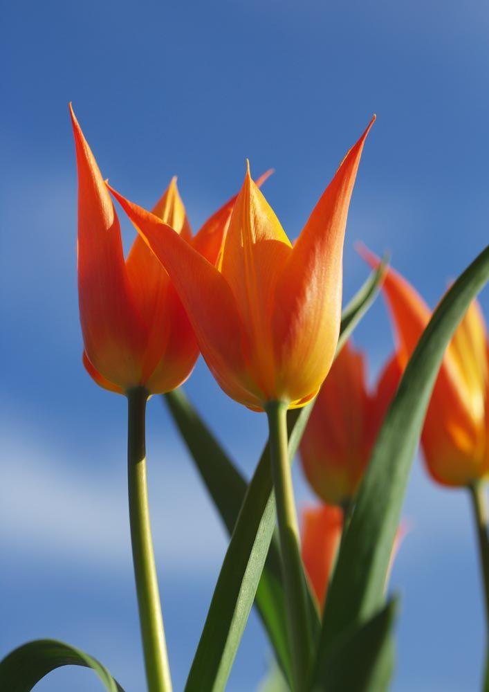 写真,素材,無料,フリー,フォト,クリエイティブ・コモンズ,風景,壁紙,青空と仲良し, ちゅーりっぷ, チューリップ, 花びら, 春