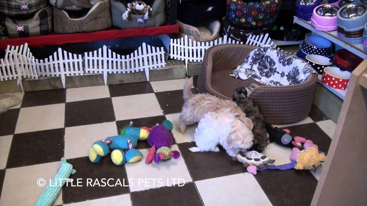 Little Rascals Uk breeders New litter of Cavapoo boys - Puppies for Sale...
