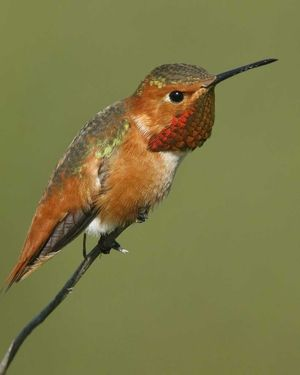 Breeds Only Along A Narrow Strip Of Coastal California And Southern Oregon.  Exotic BirdsColorful BirdsBackyard ...