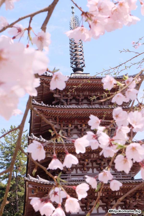 京都・醍醐寺と桜、2015