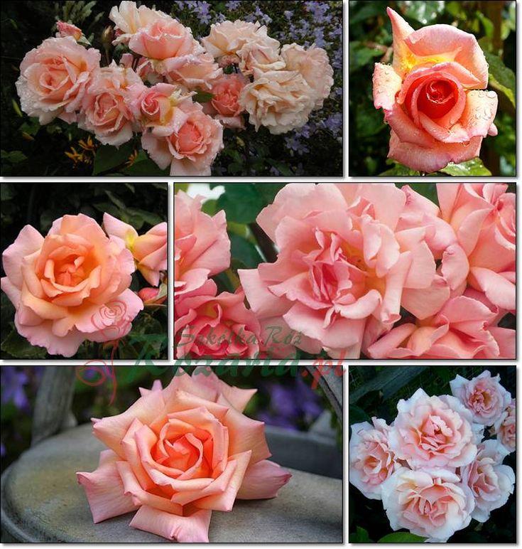 róże pnące Compassion
