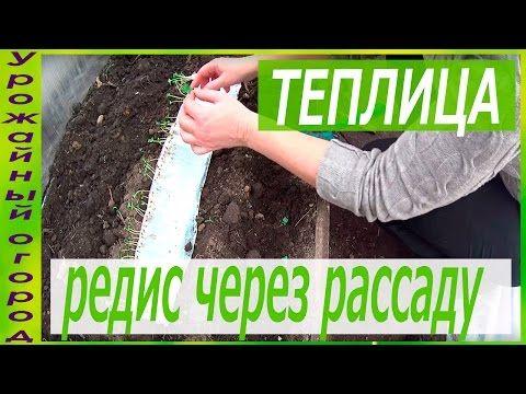 РАССАДА РЕДИСА БЕЗ ЗЕМЛИ!ПОСАДКА В ГРУНТ! - YouTube