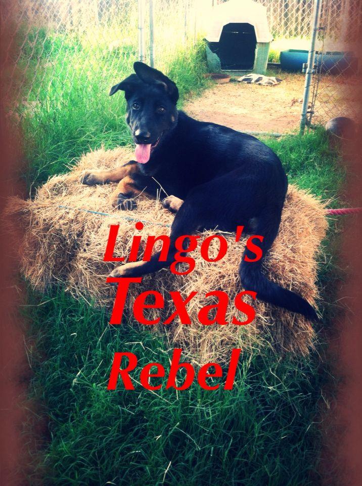 Texas Rebel german shepherd dog