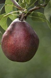 RED D'ANJOU PEAR- Best after cold storage