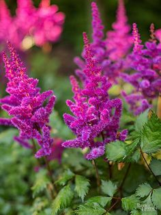 No shade garden is complete without astilbe. These rugged perennials thrive in moist shade, providing you with a summer's worth of big, bold, frilly flower heads. And even when not in bloom, the plants' mounded, fernlike foliage is worth the price of admission. Heights vary by variety but most types grow 2-3 feet tall. Astilbe flowers come in white, red, pink, orange, and violet, and generally start to appear in late spring and early summer. They thrive in a rich, loose, organic soil. Zones…