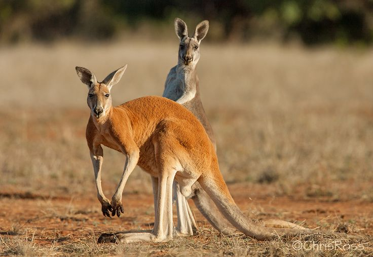 """Larger male red kangaroos are powerfully built. Like many species, male kangaroos sometimes fight over potential mates. They often lean back on their sturdy tail and """"box"""" each other with their strong hind legs."""