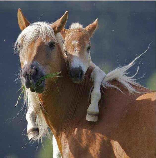 No solos humanos se parecen a sus padres. Ocurre lo mismo en el reino animal. Las fotos que verás a continuación te demuestran que los animalitos también pueden deicr aquello de.. De tal palo, tal astilla..