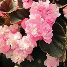 Because you can never have to many #Begonias... behold the Doublet Begonia! For more alternatives, visit us at: http://www.sheridannurseries.com/products_and_services/product_selection/shade_impatiens_alternatives