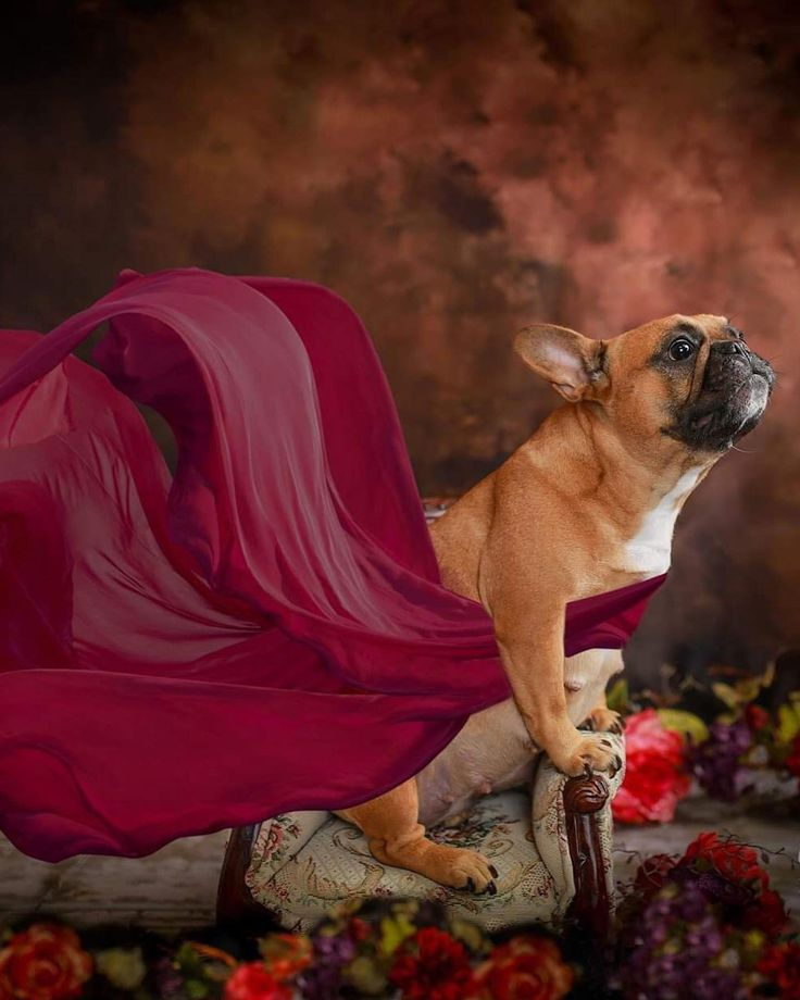 Texas French Bulldog Couple Poses For Maternity Shoot To Prepare For Puppies With Images Pregnant Dog French Bulldog French Bulldog Breeders