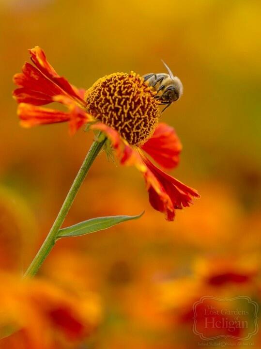 Bee on Helenium plant