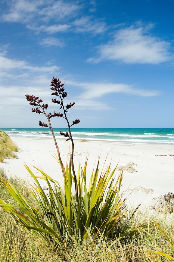 Flax flowers on a sandy white beach with blue sky and sea NZ