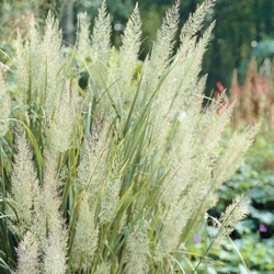Diamond grass perennial zones 4 10 up to 4 39 tall for Full sun perennial grasses
