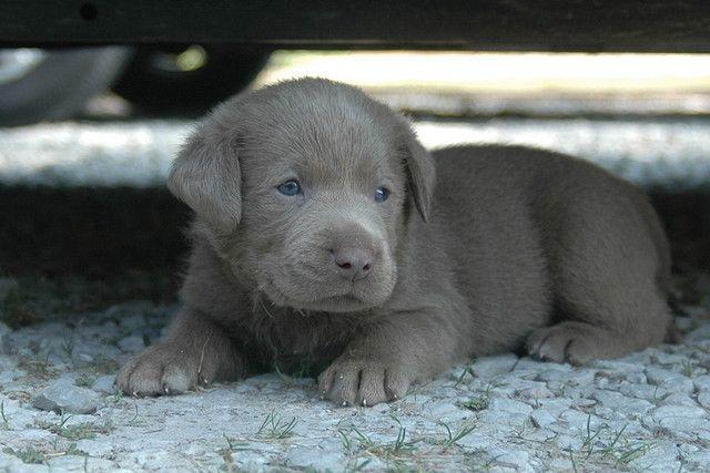 Silver Labrador Puppy!